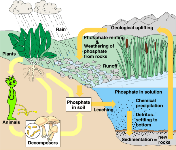 Phosphorus cycle with peeing dude