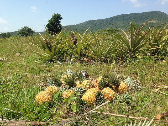 Be honest, did you know this was how pineapples are grown? Image by Tom Jarrett, via Flickr CC.