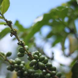 Climate Change is Felt in Costa Rica! An Example from Coffee Producers.