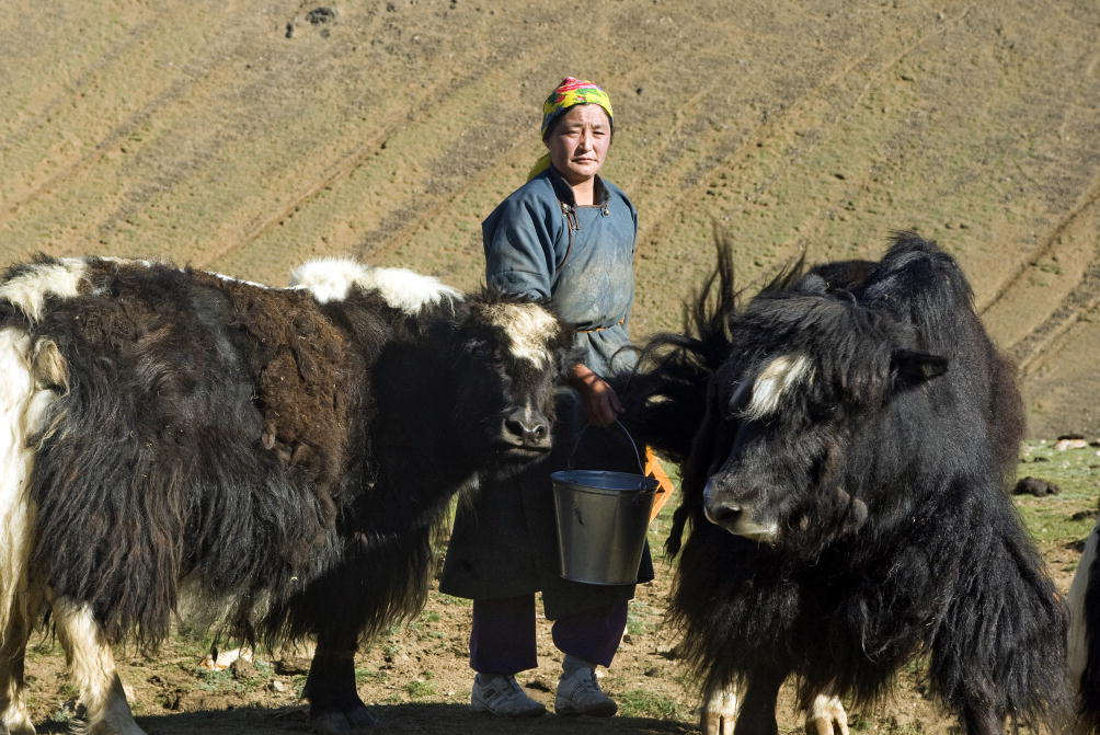 A herder woman milks her yaks in Must, Khovd Province, Mongolia.Image by UN Photo/Eskinder Debebe.
