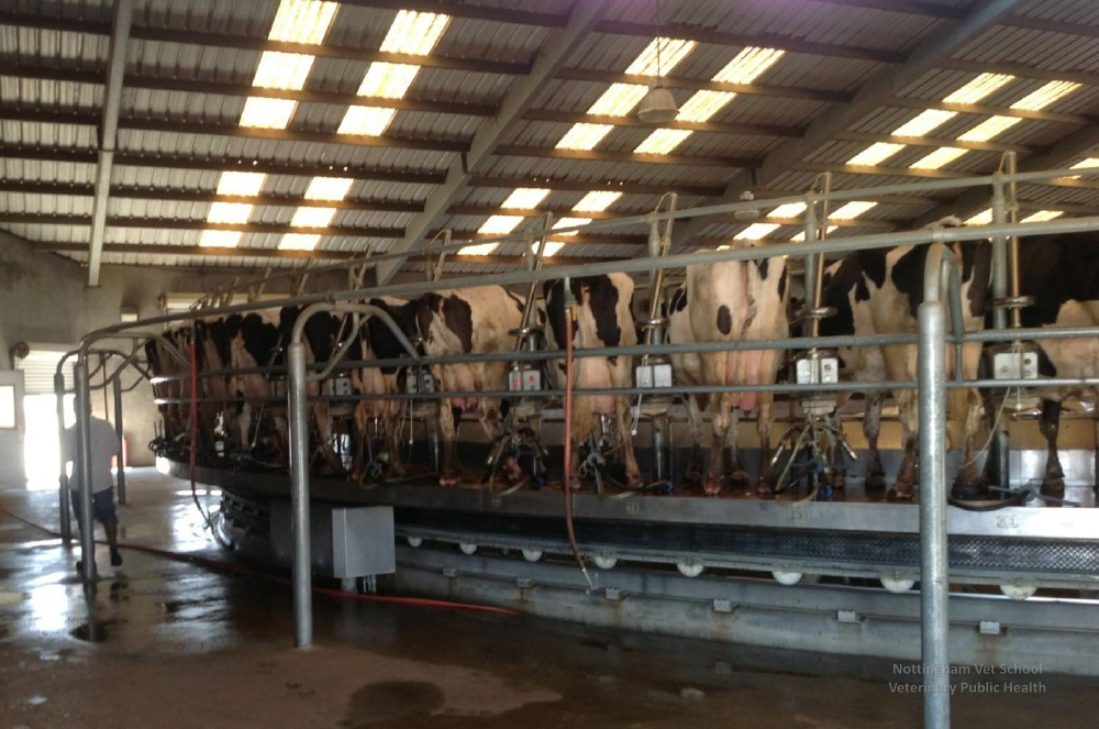 Rotary milking parlours are the newest wave of 'efficiency improvements' to produce more milk, from more cows, faster. Is this what we want? Image by the School of Veterinary Science, University of Nottingham, via Flickr CC.