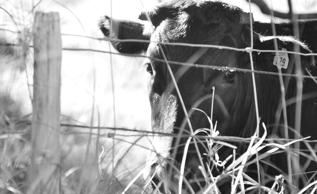 cow-833938_1920